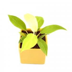 PHILODENDRON SQUARE-YELLOW