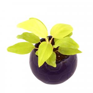 PHILODENDRON FOOT BALL